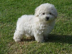 caniche poodle toy blanco