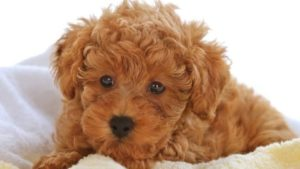 caniche poodle toy