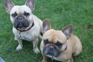 perro bulldog frances