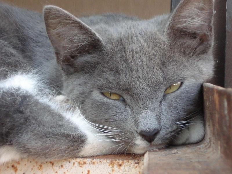 Síntomas de la Leishmaniasis en gatos o leishmaniosis en gatos