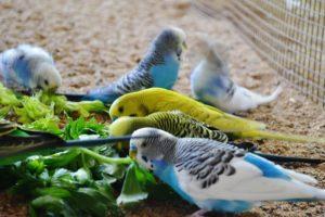 que comen los periquitos australianos aparte de alpiste