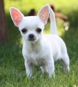chihuahua blanco