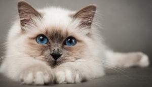 gato siamés blanco