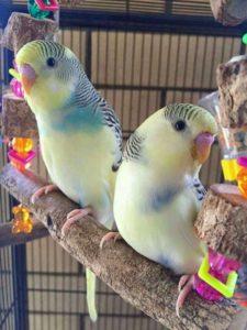 que comen los periquitos australianos