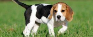 tipos de beagle