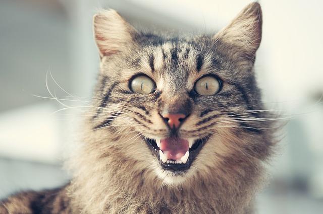 mi gato jadea porque está excitado