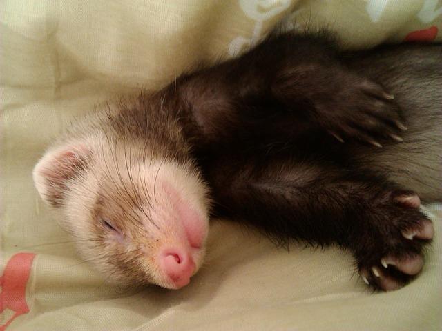 Los hurones duermen mucho y con sueño profundo