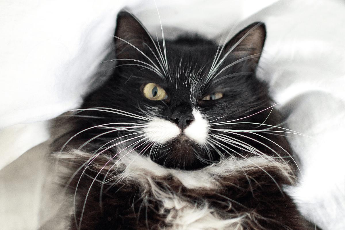 Conoce todo sobre las vibrisas: para qué sirven los bigotes del gato