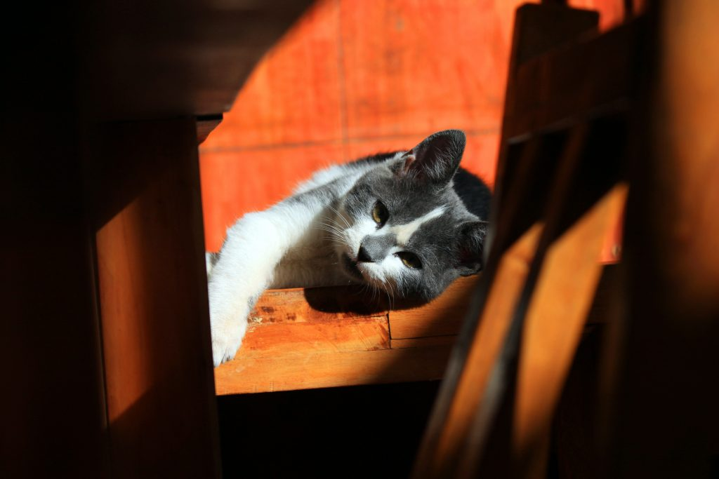 Leishmaniasis en gatos: qué es y cuáles son sus síntomas