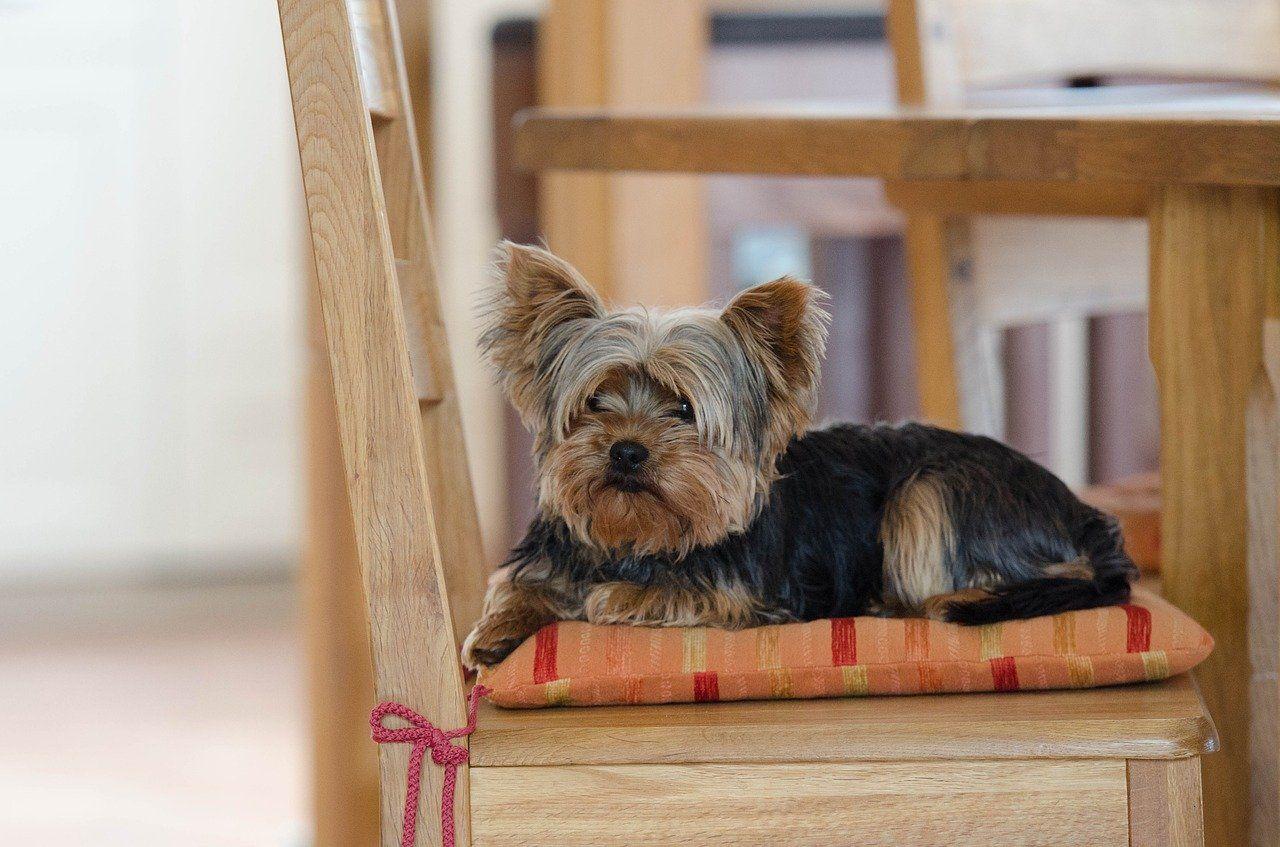 Los 21 perros ideales para apartamentos o apartamentos pequeños